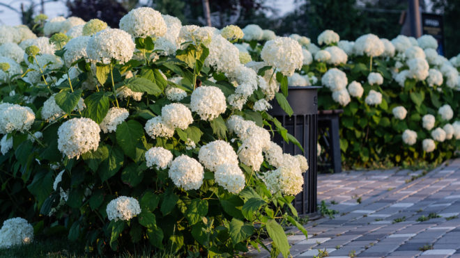 Гортензия - виды и сорта для российских садов