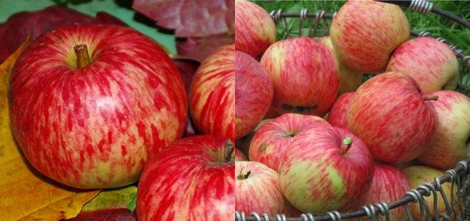 Самые лучшие осенние сорта яблонь - фото с описанием