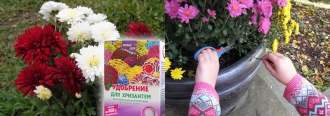 Как хранить хризантемы зимой - проверенные способы