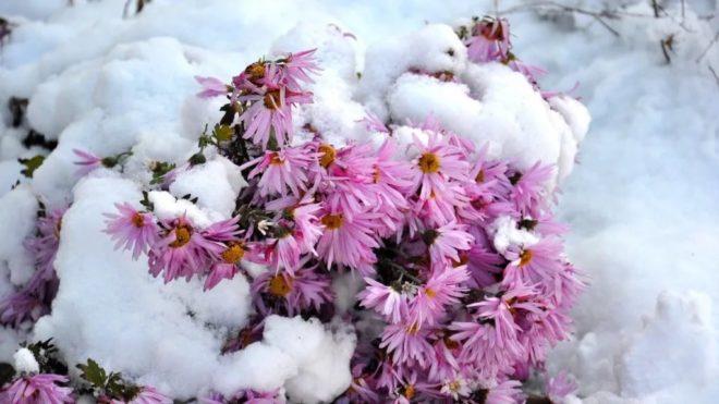 как хранить выкопанные хризантемы зимой