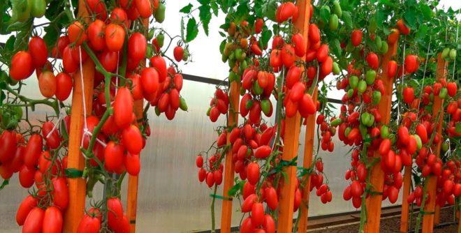 Все о сорте Томат Джекпот - урожайность и уход