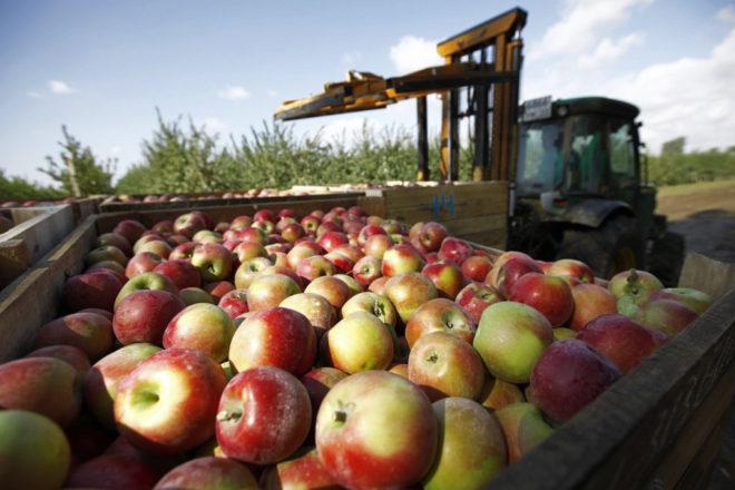 Самые лучшие осенние сорта яблонь — фото с описанием