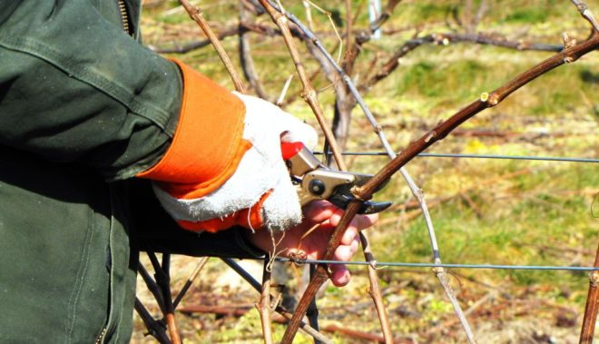 Осенняя посадка винограда черенками - кратко об этапах