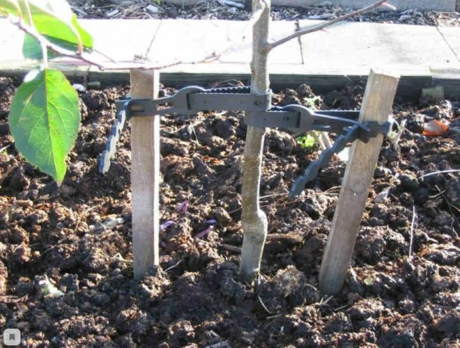 Посадка груши весной - когда и как сажать