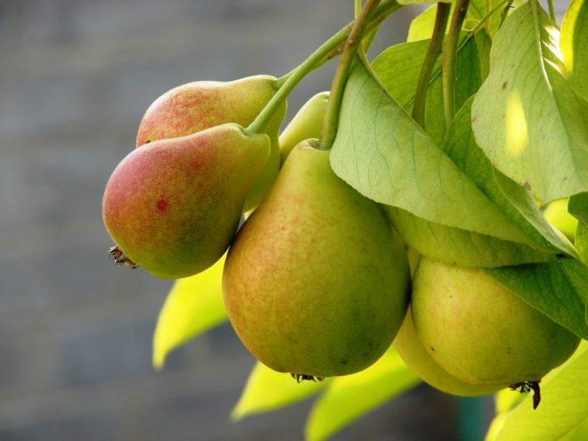 Как правильно сажать грушу весной