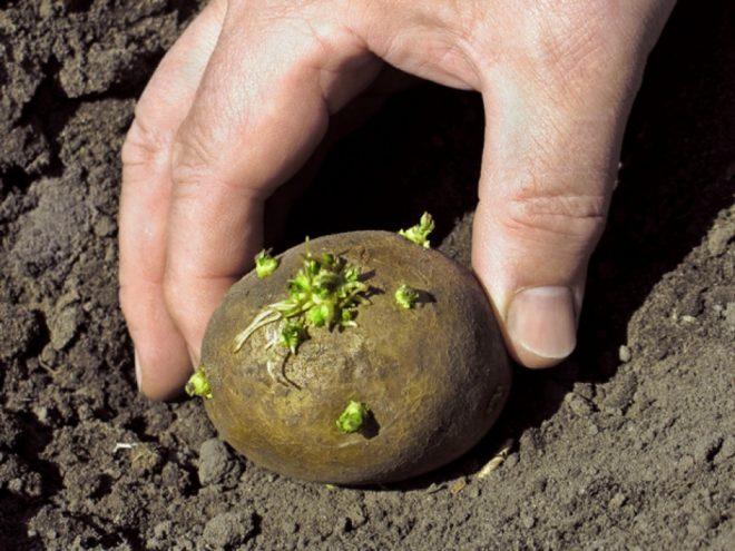 Как сажать картофель весной, чтобы был хороший урожай