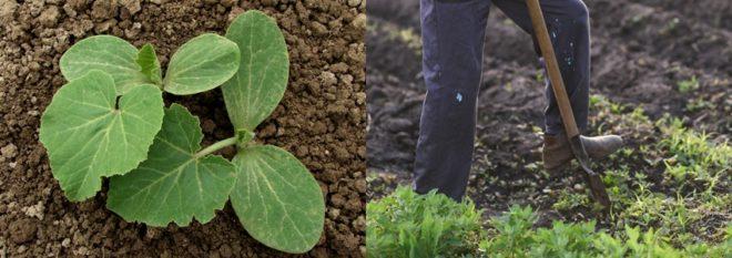 Как и когда сажать тыкву весной в открытый грунт