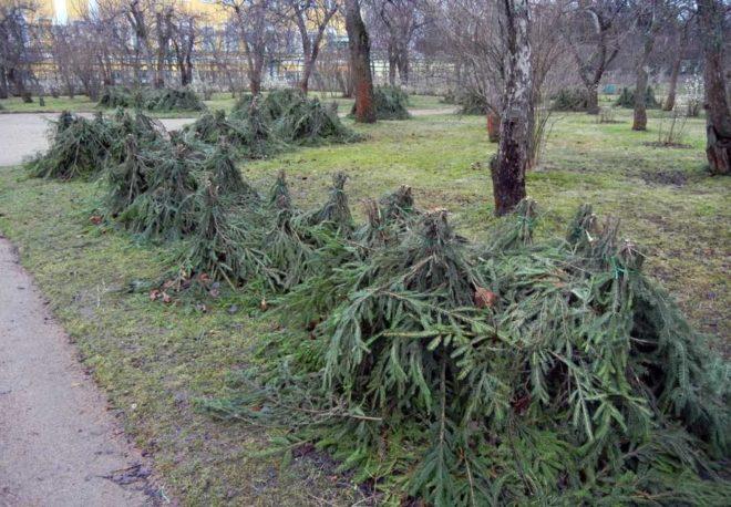 Вред и польза Уксусного дерева