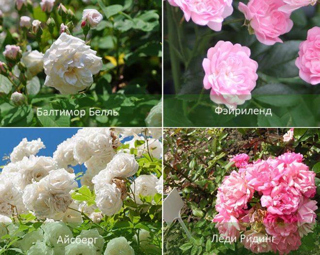 Выращивание розы из черенка осенью