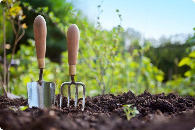 Ель канадская Коника ? как пересадить и ухаживать в саду - Дача