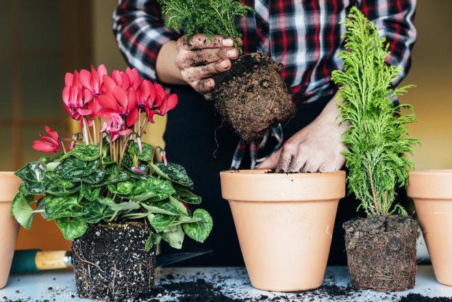 Когда пересаживать комнатные растения в январе 2020 — самые благоприятные дни