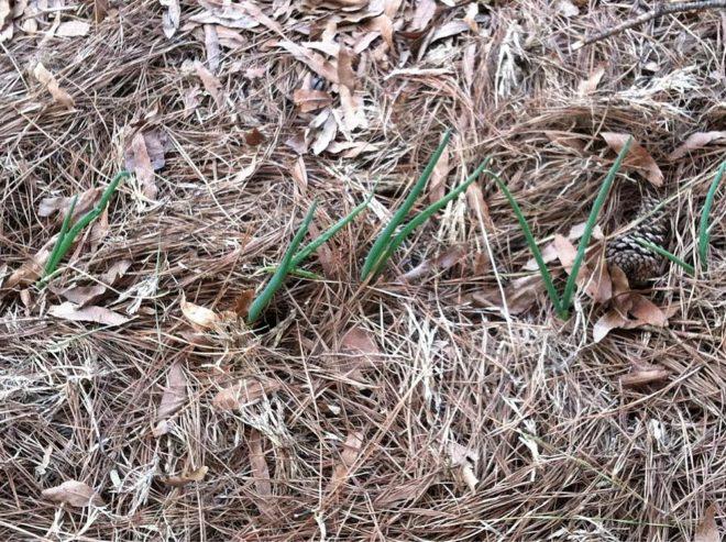 Пророс посаженный лук под зиму - как действовать