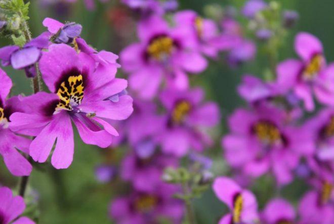 Схизантус — как и когда сеять Сад и огород,сад,схизантус,цветы