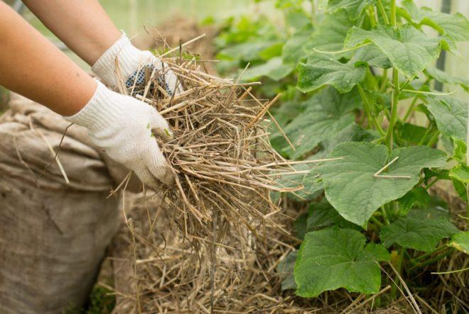 Лучшие сорта семян огурцов для Подмосковья ? сроки посадки в 2020 - Дача