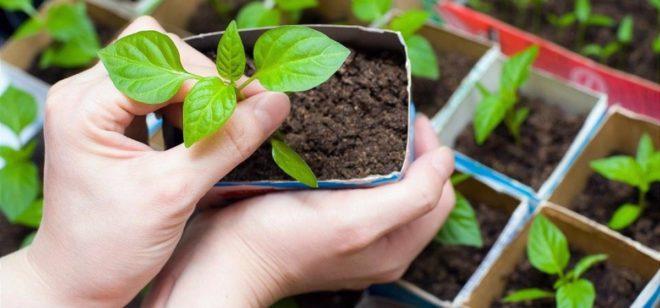 Когда сажать перец на рассаду в феврале 2020 ? таблица по дням - Дача