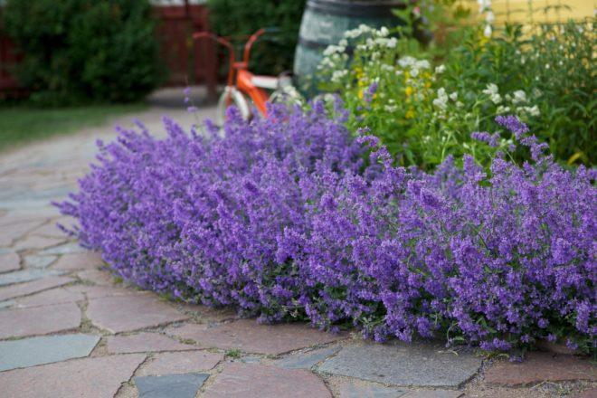 Как посадить и вырастить котовник в саду