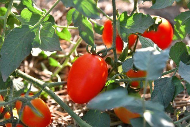 отзывам туристов томат де барао царский отзывы фото снять малосемейку без