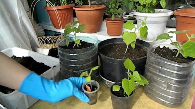 Домашние огурцы - выращивание зимой