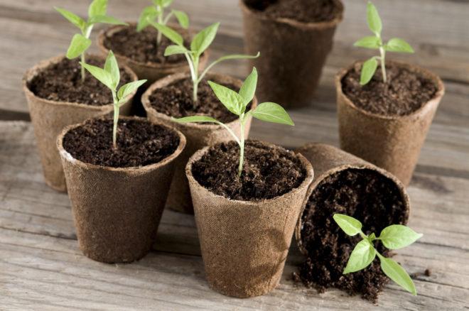 Благоприятные дни для посева перца в марте 2020