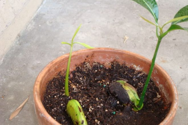 Как вырастить манго дома