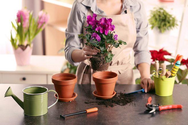 Когда пересаживать комнатные растения в июне 2020 ? самые благоприятные дни