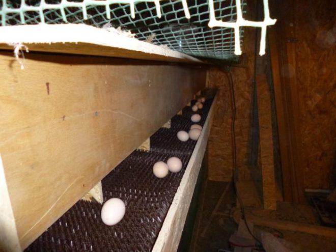 клетка кур с откатом яиц фото довольно быстро фотография