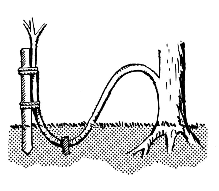 Выращиваем кизильник Корал Бьюти