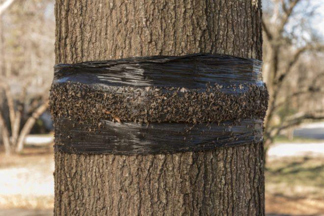 Делаем ловчий пояс от насекомых для деревьев