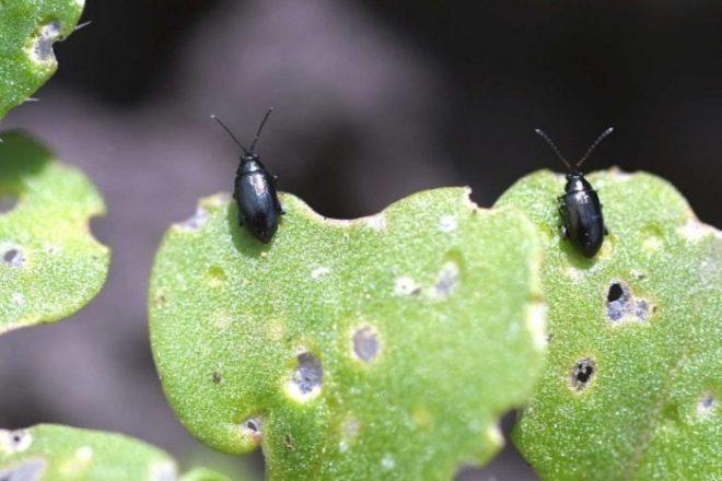 Секреты выращивания цветной капусты