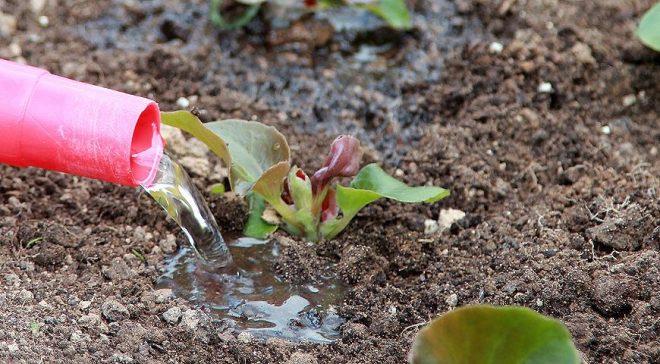 Как вырастить бегонию в саду