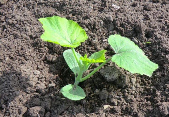 Как посадить кабачки семенами