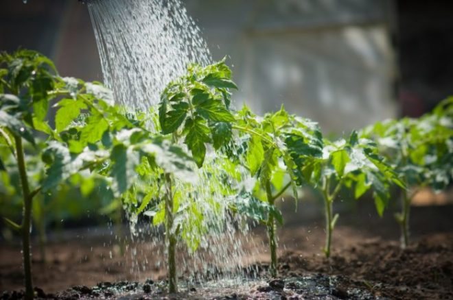 Подкормки для рассады помидоров и перцев