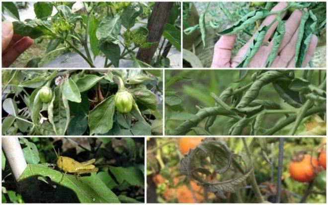 Почему скручиваются листья у помидоров