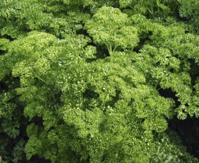 Как посадить петрушку семенами в грунт