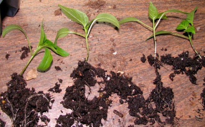 Благоприятные дни для посева перца в марте 2021