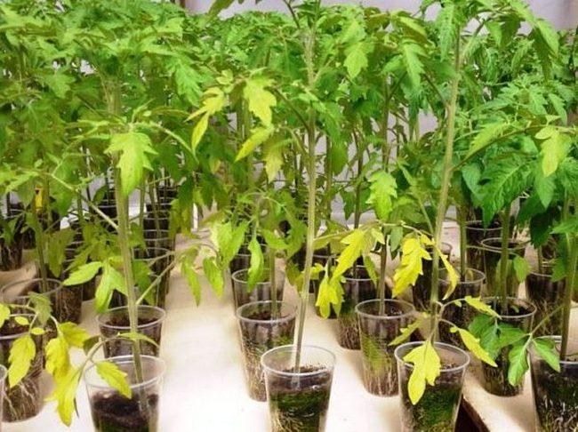Почему желтеют листья у помидоров
