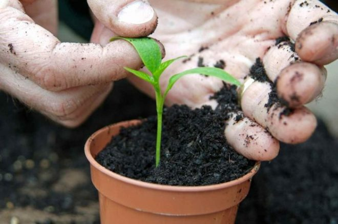 Благоприятные дни для посева перца в феврале 2021