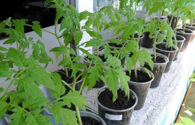 Почему белеют листья у рассады томатов