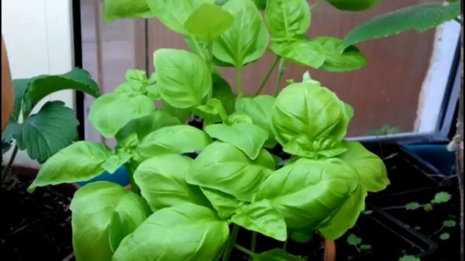 Как вырастить базилик из семян на подоконнике