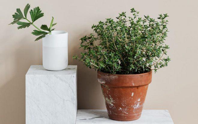 Как вырастить тимьян из семян на подоконнике