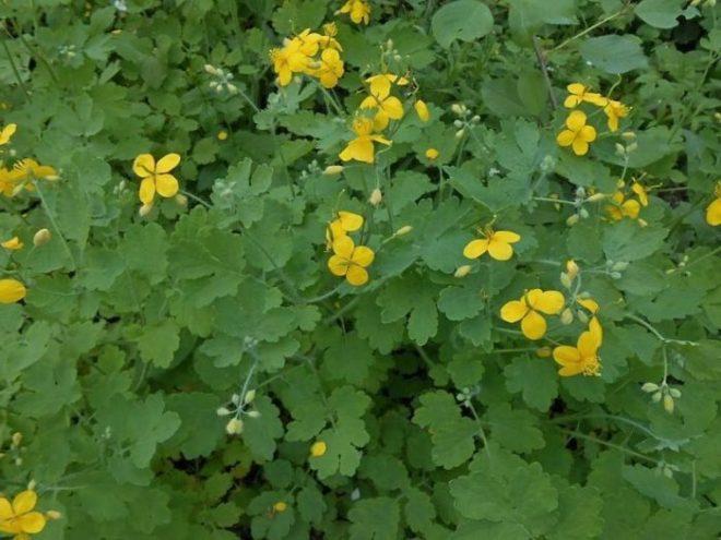 Чистотел поможет справиться с сорняками и вредителями