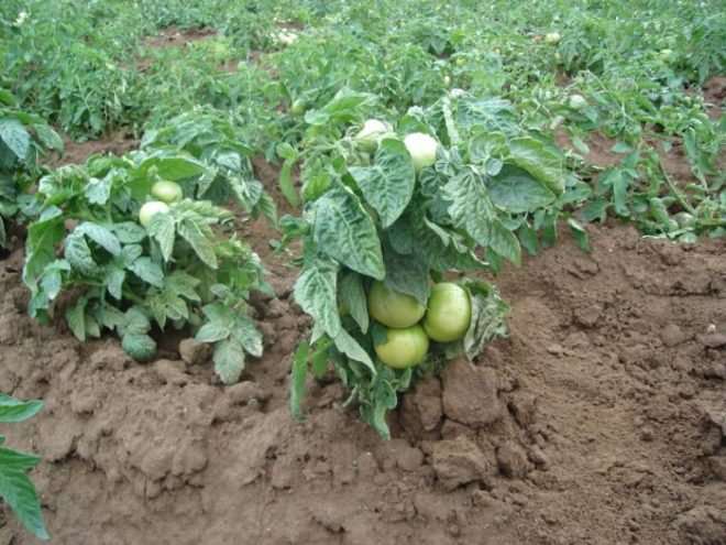 Как подвязать помидоры: лучшие способы для теплицы и открытого грунта