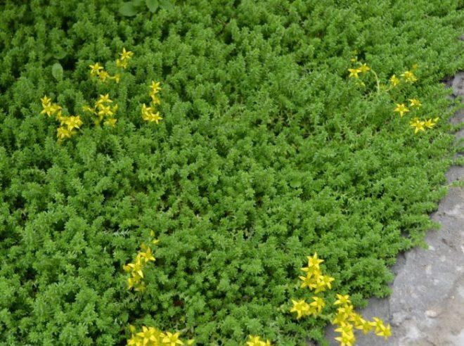 Эти растения истребляют сорняки