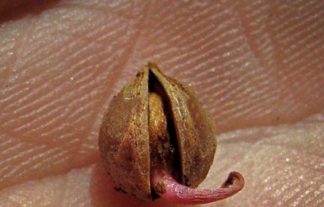Как вырастить черешню из косточки в домашних условиях