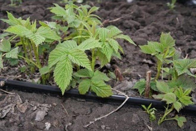 Как размножить малину корневыми отпрысками