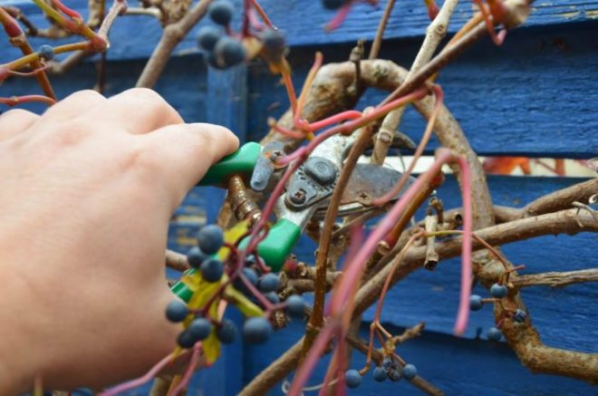 Размножение девичьего винограда черенками и отводками