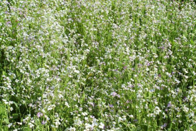 Что посадить после уборки чеснока летом и осенью
