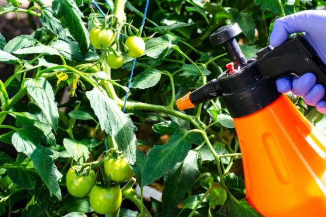Лечение фитофторы на помидорах народными средствами