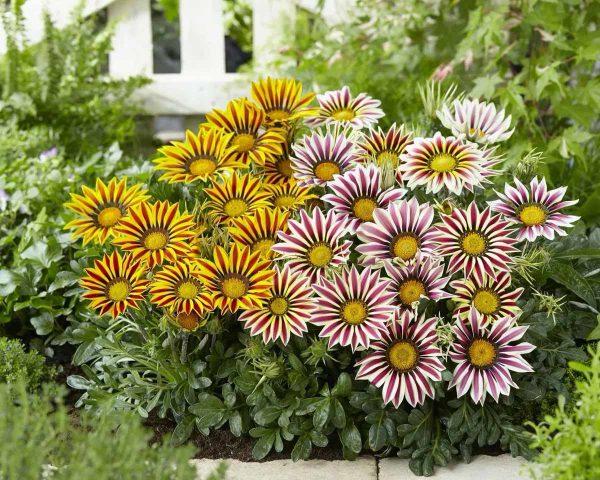 Цветы Гарцания — Как правильно выращивать и ухаживать дома