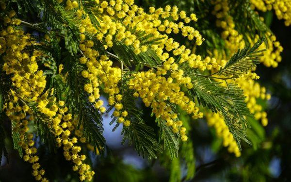 Цветок Мимоза: Как правильно выращивать и ухаживать